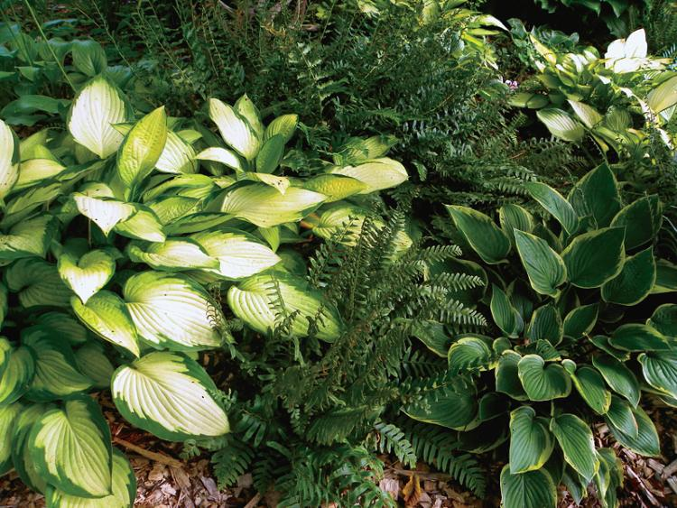 Hostas and Christmas ferns