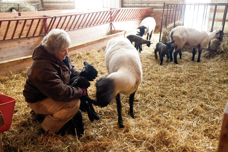 Diane Russell checks on flock at Russell Sheep Company in Eaton, IN