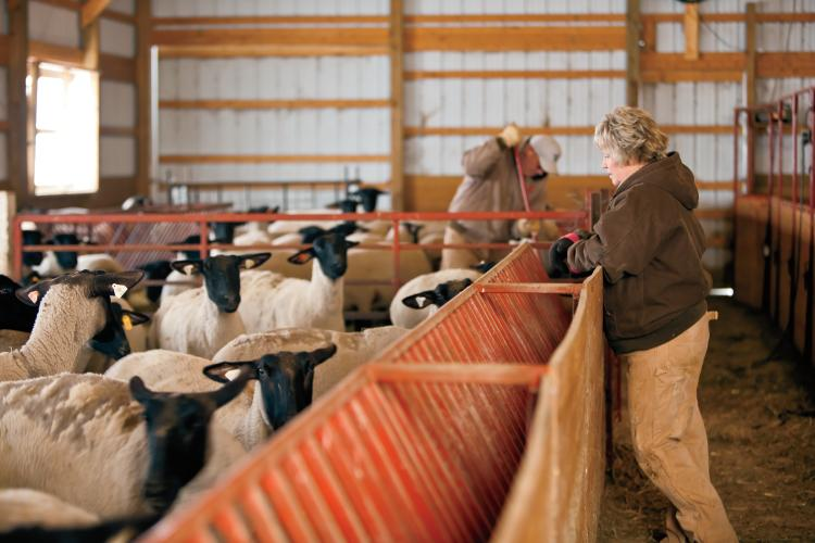 Paul and Diane Russell check on their flock at the Russell Sheep Company in Eaton, IN