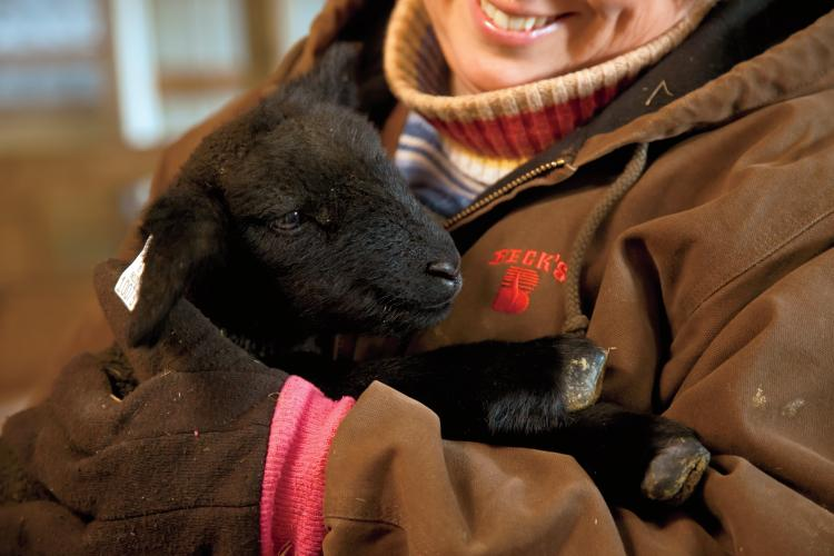 A lamb at the Russell Sheep Company in Eaton, IN