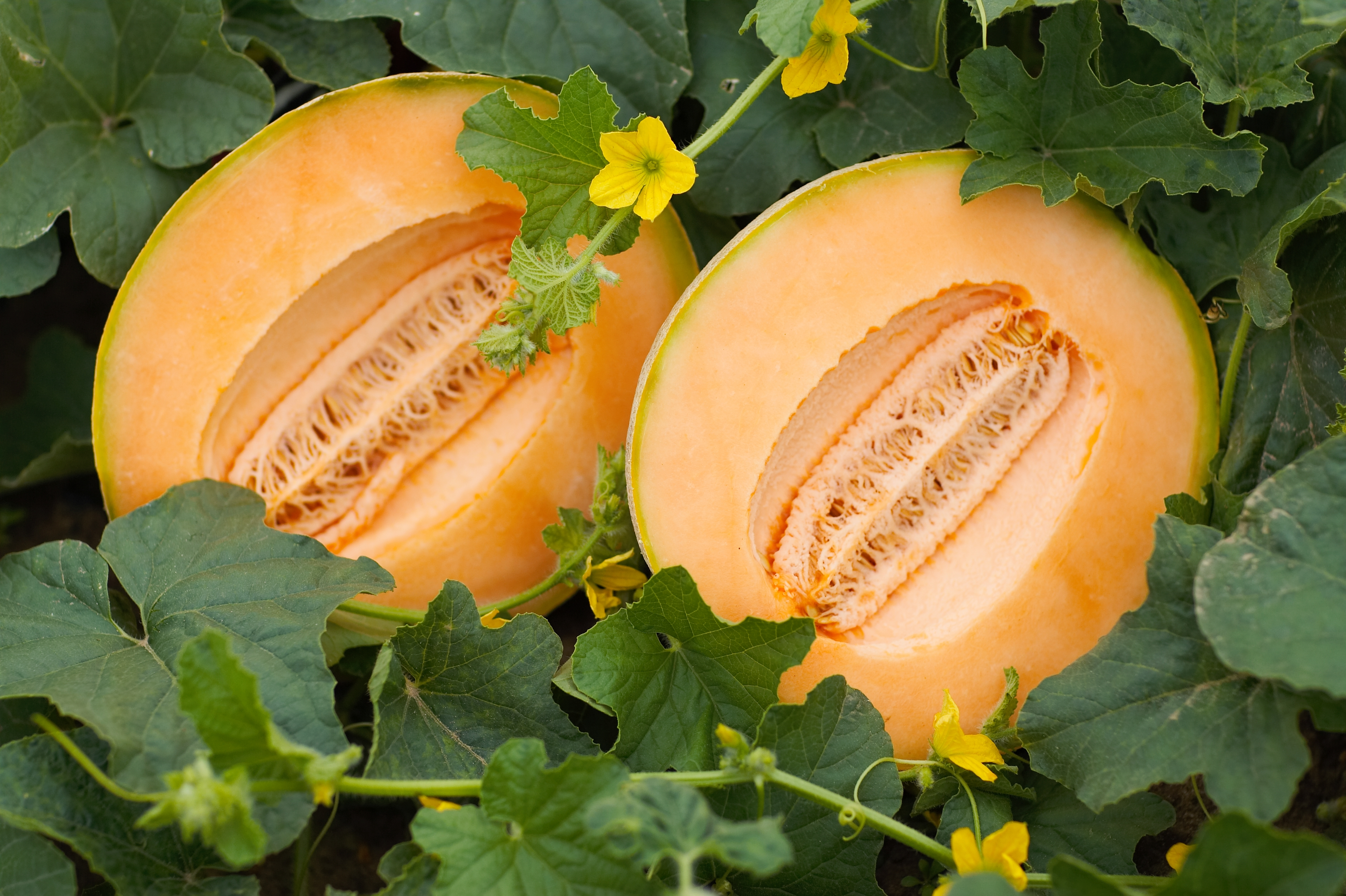 Indiana melons