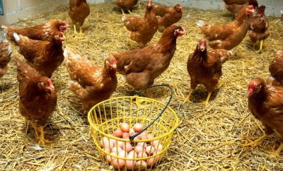 Eggs and chickens in chicken coop