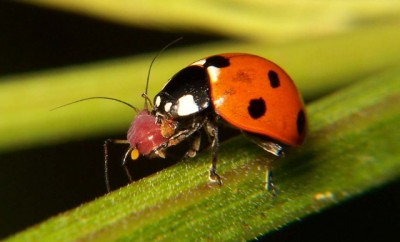 Natural pest control: Ladybugs eat aphids