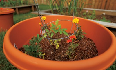 A container Garden with a tomato plant and marigolds