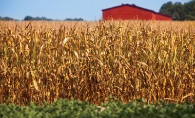 field corn
